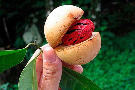 мускатный орех в кожуре в руке