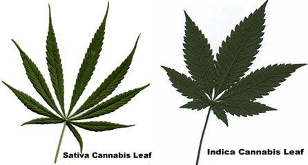 разновидности Cannabis