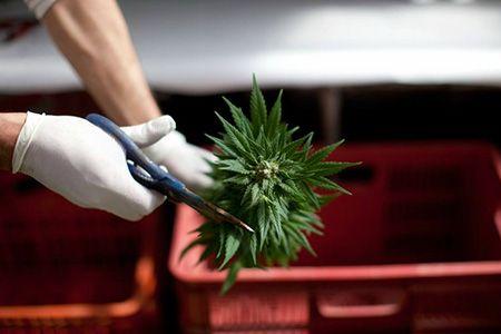 обрезают ножницами ветку марихуаны
