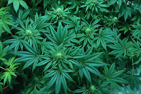 Кусты марихуаны