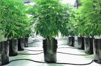 Выращивание наркотической конопли на гидропонике